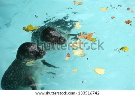 sea calf enjoys the pool during the fall - stock photo