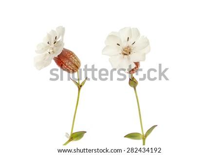 Sea Campion,Silene, flowers and foliage isolated against white - stock photo