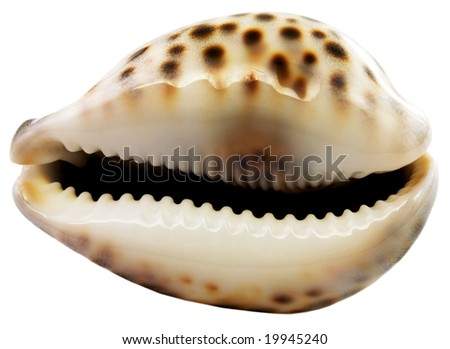 Sea cockle-shell on a white background