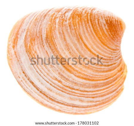 Sea Cockleshell Isolated On White Background. Brown Shell - stock photo