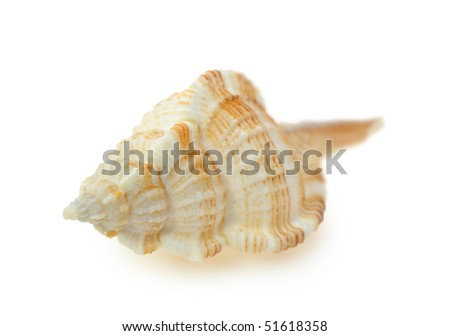 Sea cockleshell. It is isolated on a white background.