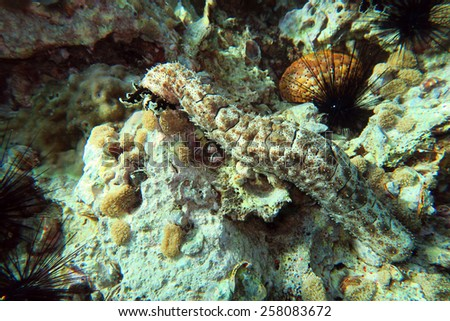 sea cucumber at the coral reef of Anemone Reef, Thailand - stock photo