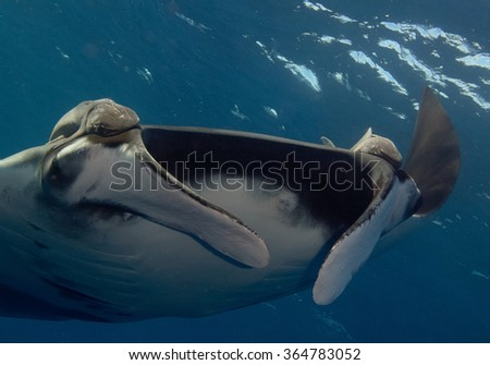 Sea devil or Manta,South Africa