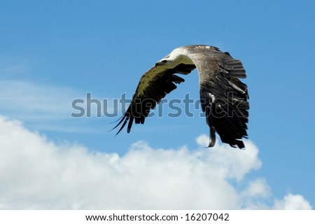 Sea eagle flying with wings pointing downwards. - stock photo