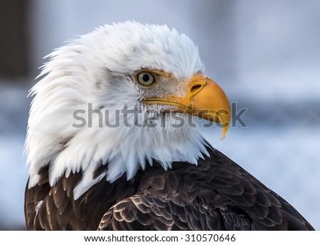 Sea Eagle Head Close-up  in Nature - stock photo