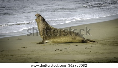 Sea elephant vocalizing on the beach Pacific ocean Las Piedras Blancas California