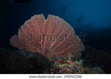 Sea Fan and Diver, Sipadan Island, Borneo - stock photo