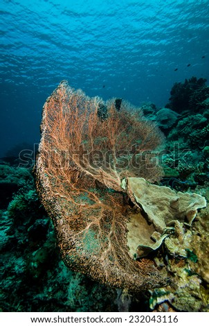 Sea fan in Derawan, Kalimantan, Indonesia underwater photo. Muricella has various color and there is hard coral Montipora beside the sea fan.