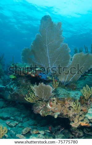 Sea Fan on a reef ledge, picture taken in south east Florida.