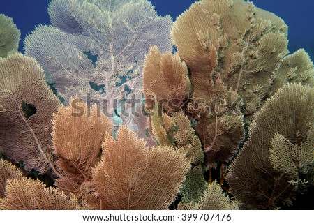 Sea fans in the tropical waters outside the Caribbean island of Bonaire