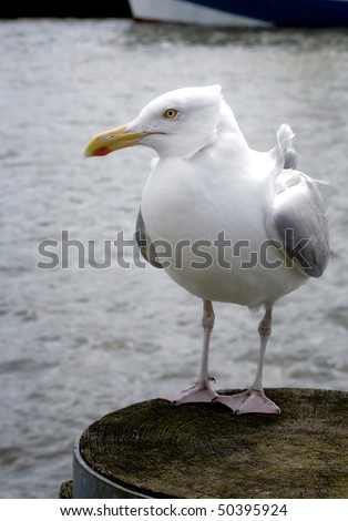 Sea-gull - stock photo