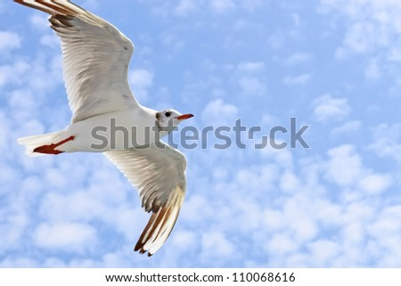 Sea gull during the flight against the sky with light clouds. Close-up - stock photo
