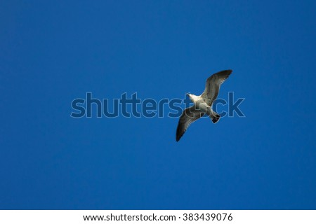 Sea gull flying in the blue clear sky, flight and freedom of a wild bird. Beautiful Seagull bird with large wing span.  - stock photo