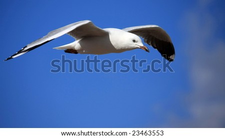 Sea gull gliding on the wind