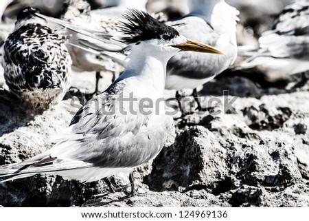 Sea Gull in Australia ( HDR image ) - stock photo