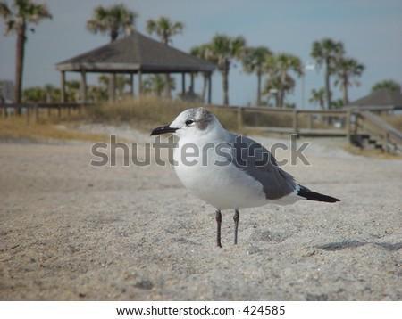 Sea gull on the beach, Amelia Island, Florida - stock photo