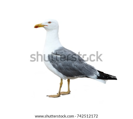 Sea gull profile on white background closeup