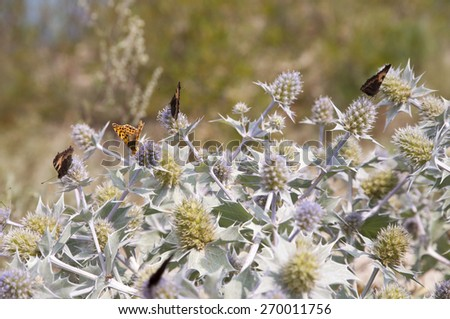 sea holly and butterfly - Aglais urticae - stock photo