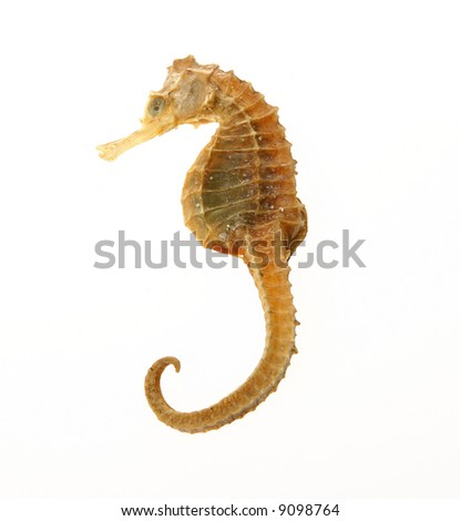sea horse of gold color over white background