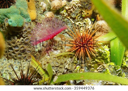 Sea life on the seabed, reef urchin with split-crown feather duster worm and mat zoanthid, Caribbean sea, Central America, Panama - stock photo