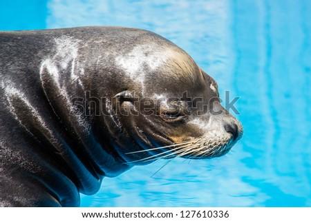 Sea lion close-up - stock photo