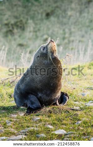 sea lion close up portrait photo - stock photo