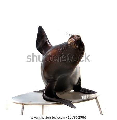 sea lion isolated over white background - stock photo