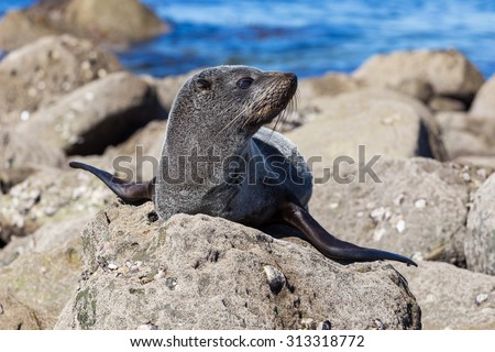 Sea lion laying on the beach on the Pacific Sea Coast, Auckland Region, North Island, New Zealand