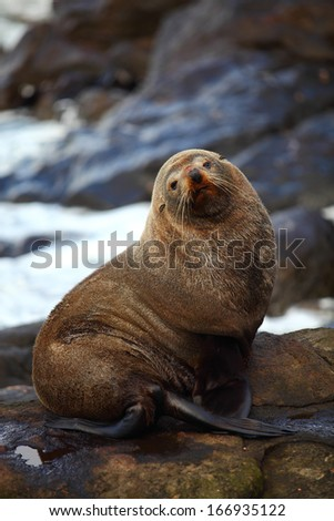Sea lion looking at the camera in Katiki Point, New Zealand - stock photo