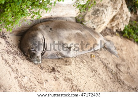 Sea Lion lying in the Sand - stock photo
