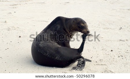 Sea Lion on a White Sand Beach in the Galapagos Islands - stock photo