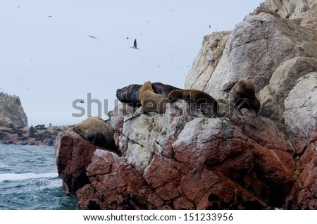 sea lion on ballestas islands