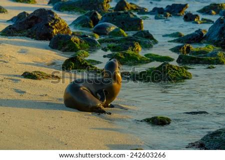 sea lion on the beach in galapagos islands ecuador - stock photo