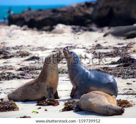 Sea lion on the beach of Penguin island, west Australia - stock photo
