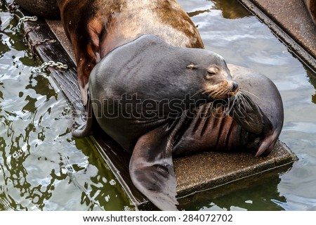 Sea lion posing in sun scratching head on pier in river off northwest coast of the Pacific ocean - stock photo