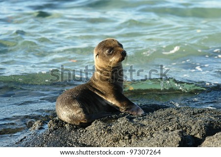 Sea Lion pup at waters edge at Punta Espinosa on Fernandina island in the Galapagos - stock photo