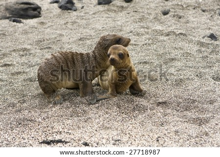 Sea lion pups playing in the shade on the Galapagos Islands - stock photo