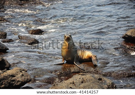 Sea lion sitting on a rock Galapagos Islands - stock photo