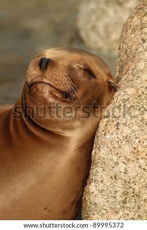 Sea lion sleeping against a rock - stock photo