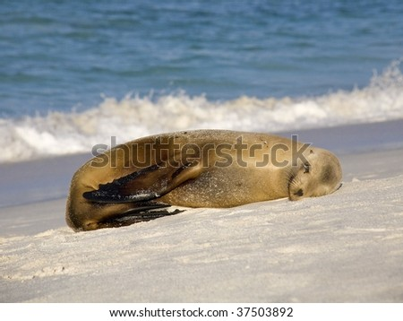 Sea lion sleeping on the beach in the Galapagos Islands - stock photo