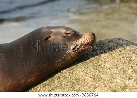 Sea lion sleeping with head on rock - stock photo