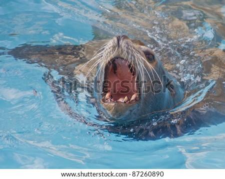 Sea lion swimming - stock photo