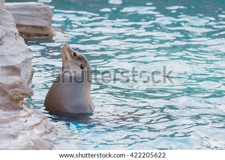 Sea lion swimming and sunbathe in the pool in summer - stock photo