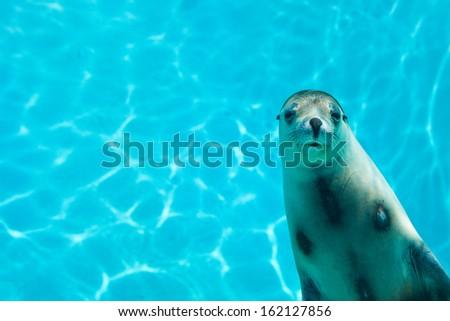 Sea lion swimming underwater - stock photo