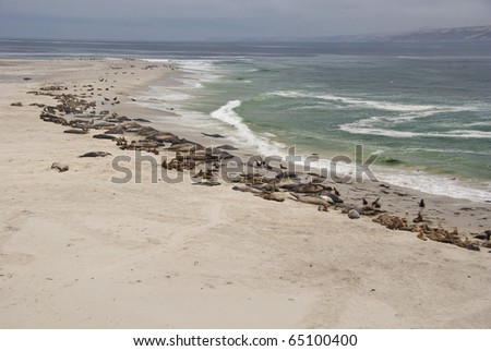 Sea lions and elephant seals on San Miguel Island, Channel Islands National Parks, California - stock photo