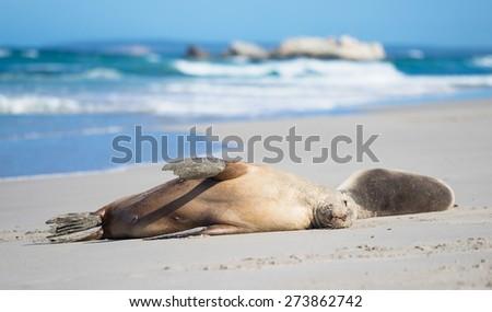 Sea Lions at Seal Bay, Kangaroo Island - stock photo