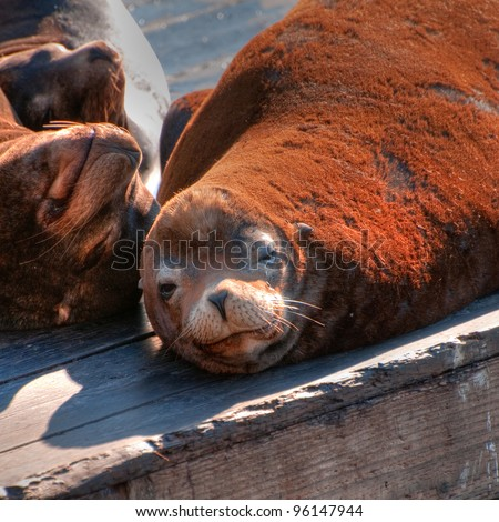 Sea Lions Basking in the Sun - stock photo