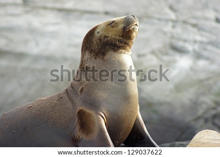 Sea Lions colony, Beagle Channel, Argentina - stock photo