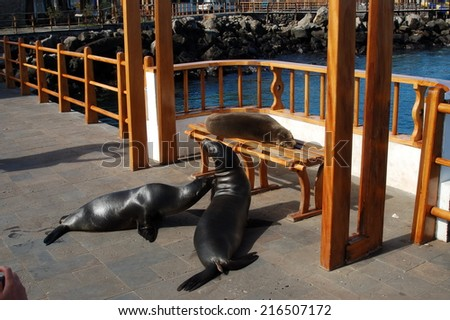 Sea Lions, Galapagos Islands, - stock photo