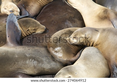 Sea Lions hauling out on boat docks in San Francisco.  Sleeping on top of each other. - stock photo